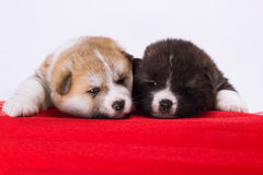 Couple of Japanese Akita-inu puppies lying on red Stock Photo