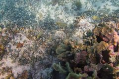French grunt in a reef Stock Photography