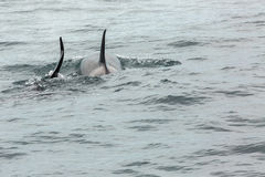 Couple of Killer Whales in Pacific Ocean. Water area near Kamchatka Peninsula. Stock Photos