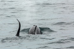 Couple of Killer Whales in Pacific Ocean. Water area near Kamchatka Peninsula. Stock Photography