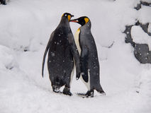 Couple of King Penguins at Asahiyama Zoo Royalty Free Stock Photos