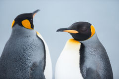 Couple of the King penguins. Closeup shot of King Penguin Couple at Grytviken, South Georgia Island, Antarctica Stock Photography