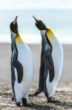 Couple of the KIng penguins. Stock Photos