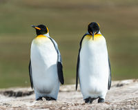 Couple of the KIng penguins. Royalty Free Stock Images