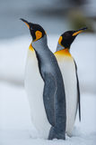 Couple of the King penguins. King Penguin Couple at Grytviken, South Georgia Island, Antarctica Royalty Free Stock Photo