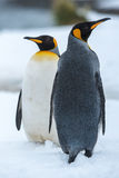 Couple of the King penguins. King Penguin Couple in love against white snow at Grytviken, South Georgia Island, Antarctica Stock Image