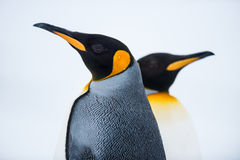 Couple of the King penguins. In South Georgia, Antarctica Stock Photos
