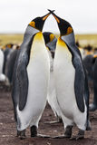 Couple king penguins Stock Photography