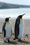 Couple of the KIng penguins. Stock Photo