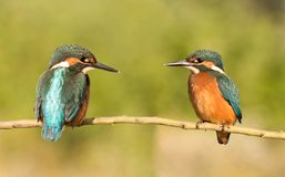 Couple of kingfishers in the nature stock images