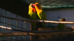 Couple of agapornis parrots in the cage. Couple of kissing agapornis parrots sitting on the twig in the cage and one of them fly away stock video footage
