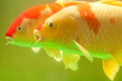 Couple of  Koi fish. Two red and white koi fish swiming in the pool Stock Image