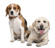 Couple of a Labrador and a beagle Royalty Free Stock Image