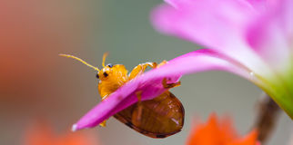 Couple lady insect on flower Stock Photography