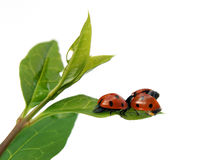 Couple of ladybirds Stock Photo