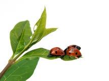 Couple of ladybirds Stock Photo