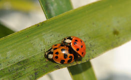 A couple of Ladybugs Royalty Free Stock Photo