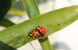 A couple of Ladybugs Stock Photography