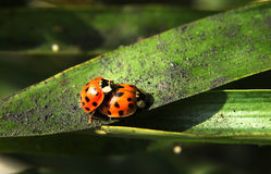 A couple of Ladybugs Royalty Free Stock Image