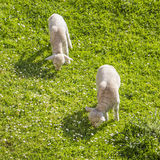 Couple of lambs grazing. Two lambs grazing leisurely on a daisy laden meadow Royalty Free Stock Photo