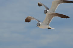 Couple of Laughing Gulls in Tandem Flight Royalty Free Stock Image