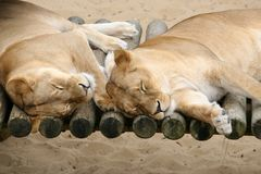 Couple of Lazy Lions. Sleeping stock image
