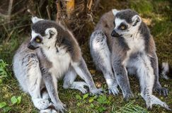 Couple of lemurs sit on the grass. royalty free stock photography