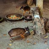 Couple of Lesser Mouse Deer Stock Image