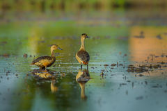 Couple of Lesser whistling duck Royalty Free Stock Photography