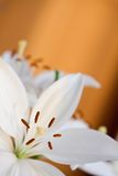 Couple of lilies Stock Photography