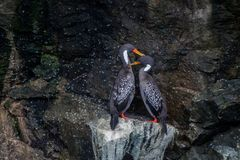 Couple of lille cormorant in The Humboltd Penguin National Park. In Punta de Choros, Chile Royalty Free Stock Images