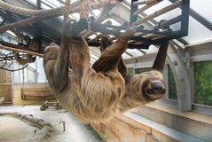 A couple of Linnaeus`s two-toed sloths Choloepus didactylus hanging at the constructions of an exhibit of America Tropicana Stock Images
