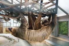 A couple of Linnaeus`s two-toed sloths Choloepus didactylus hanging at the constructions of an exhibit of America Tropicana Royalty Free Stock Image