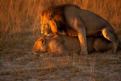 Couple of lion Stock Photos