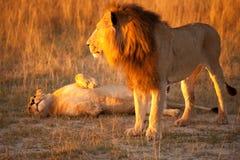 Couple of lion Stock Photo