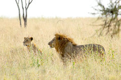 Couple of lion and lioness in savannah Royalty Free Stock Photo