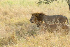 Couple of lion and lioness walking in savannah Stock Image