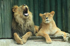 Couple of lions Stock Photo