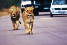 Couple of lions & cars on paved road Royalty Free Stock Photos