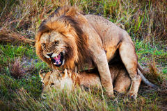A couple of lions copulation on savanna Serengeti, Tanzania, Africa Stock Photography