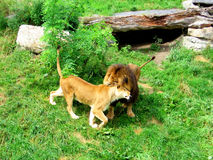 Couple of lions embracing-STock Photos Royalty Free Stock Photo