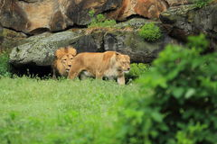 Couple of lions Stock Images