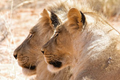 Couple of lions at kgalagadi park Stock Photography