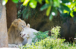 Couple lions in love. Male lion and lioness in love Stock Image