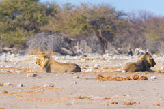 Couple of Lions lying down on the ground in the bush. Wildlife safari in the Etosha National Park, main tourist attraction in Nami Stock Photos