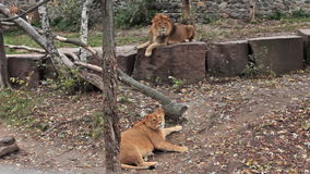 Couple Of Lions Resting stock footage