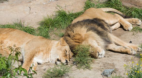 Couple of lions Stock Image