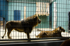 A couple of lions in their cage at the zoo Stock Images