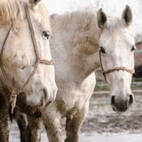 Couple of Lipizzaners Stock Photography