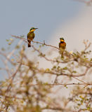 Couple of Little Bee-eaters. Royalty Free Stock Photo